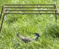 17 kievitseieren gevonden in Friesland