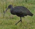 Op pad met Meino Zondervan: de Zwarte Ibis
