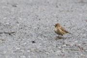 25 november 2017, Wadvogels tellen – Holwerd Oost